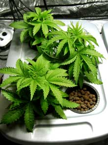 Example of three happy cannabis plants in the vegetative stage living in a hydroponic reservoir