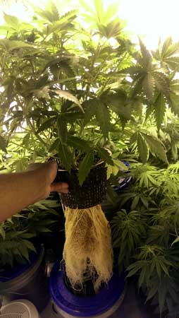 Example of a cannabis plant with amazing Hydroponic roots!