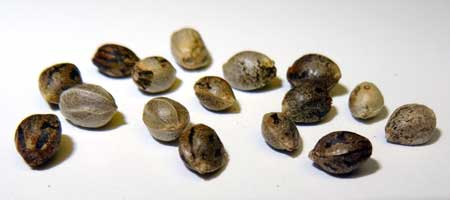 Although each of these cannabis seeds look different, they