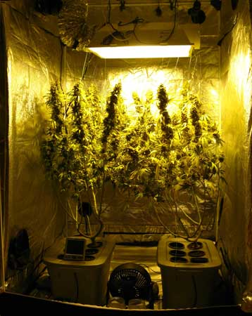 A view of the cannabis grow tent on harvest day! These two plants each produced over 10 ounces of bud