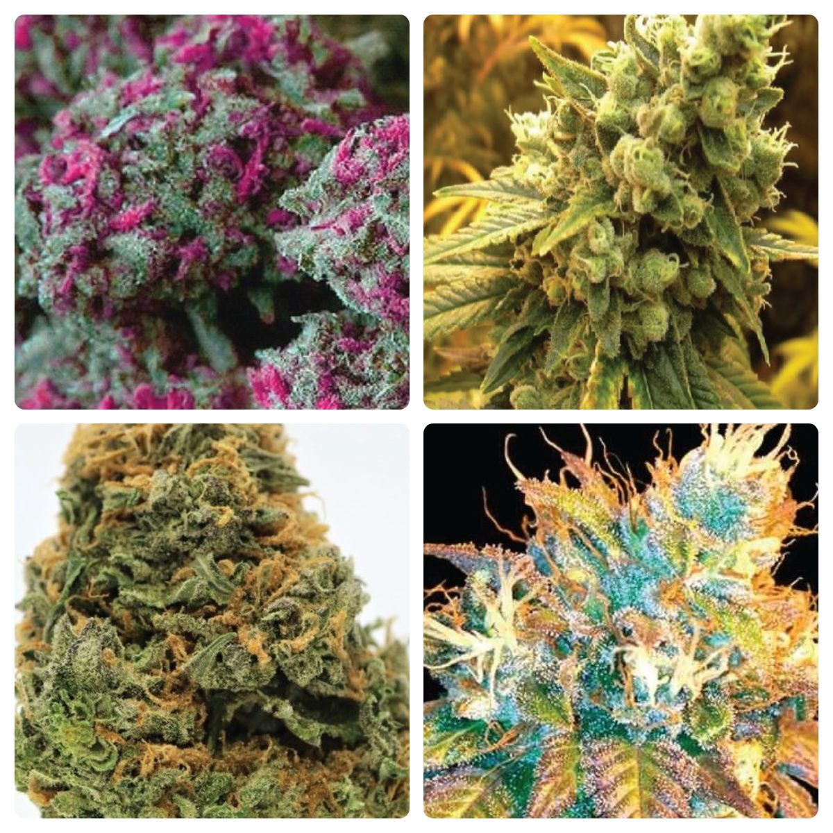 i49 Seed Bank Review: Yields