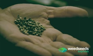 How many weed seeds do you need to grow a plant?