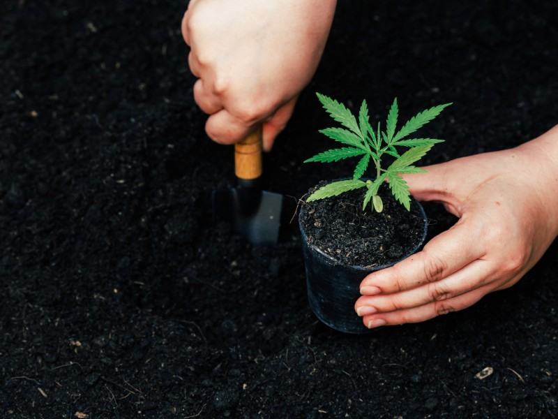 Growing marijuana seeds in Illinois is legal for up to five plants