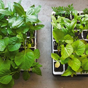 Compare seedlings grown with fertilizer to those without