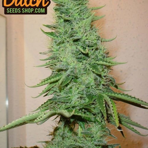 Flower from Big Bud Seeds