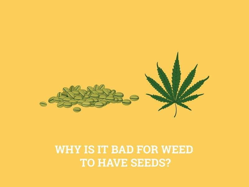 cannabis with seeds