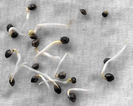 Example of several cannabis seedlings sprouting after being germinated using the paper towel method!