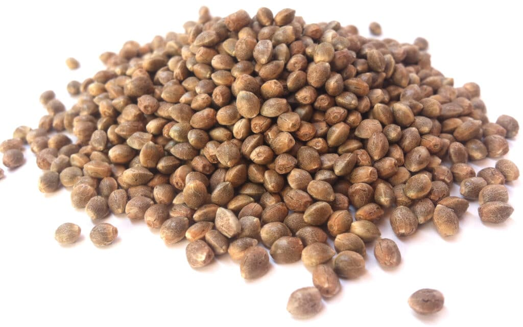 This is what feminized seeds look like