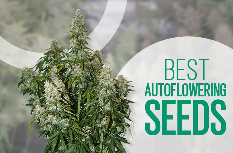 Best Autoflower Seeds: The Top 10 Autoflowering Strains You Can Buy Online