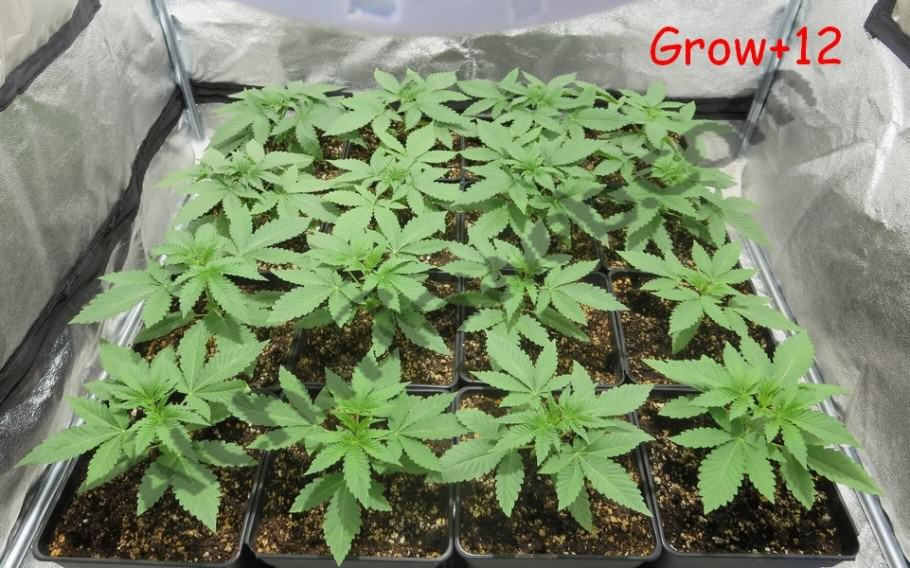 Cannabis plants after 12 days of growth