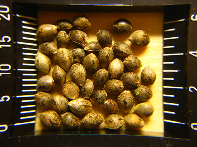 The size of cannabis seeds shown in milimeters and inches on ruler.