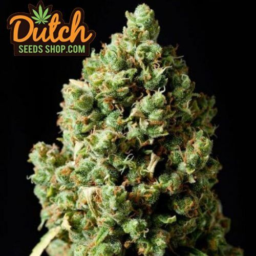 Flower from Critical Kush seeds