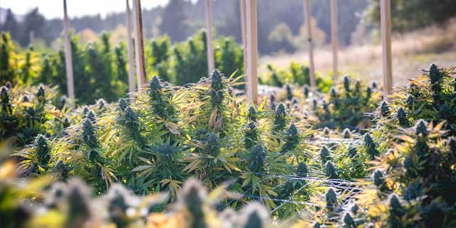 Best Outdoor Seeds for Cannabis Cultivation