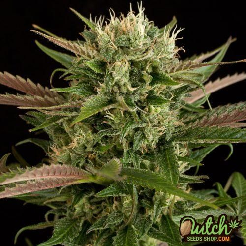 Flower from Blue Cheese seeds