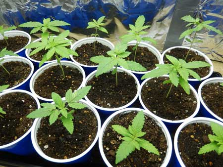Example of several healthy cannabis seedlings - get the best genetics by starting with marijuana seeds from a trusty breeder!