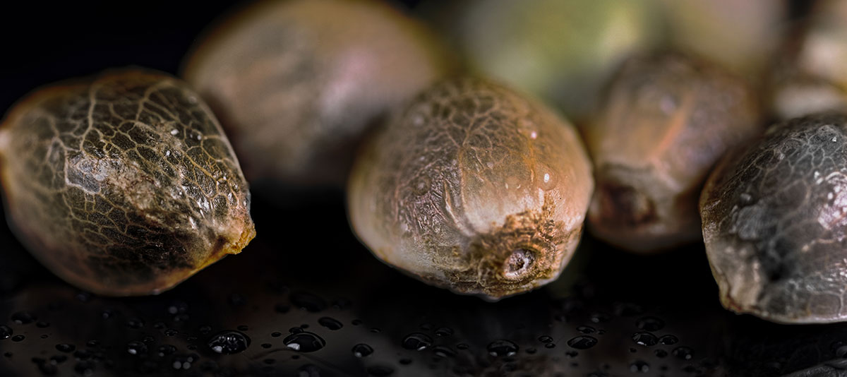 Can You Tell the Sex of Cannabis Seeds from Their Appearance