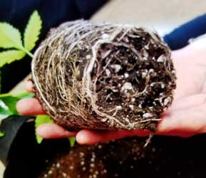 Example of the roots from a rootbound seedling, notice how they