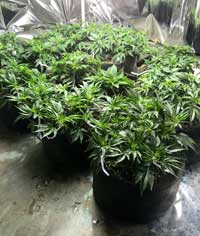 Example of a grow room with tons of happy, vegetating cannabis plants