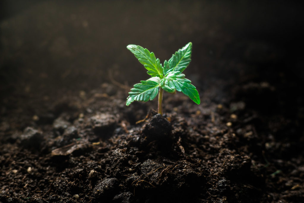 A closeup photograph showing the seedling stage of cannabis. A tiny young seedling cannabis plant, with typical petals and colouring, grows from the dirt.