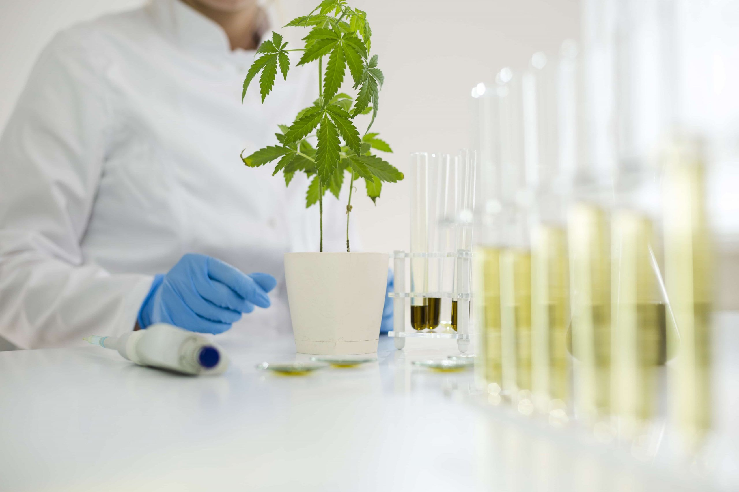 scientist looking at young hemp plant and test tubes