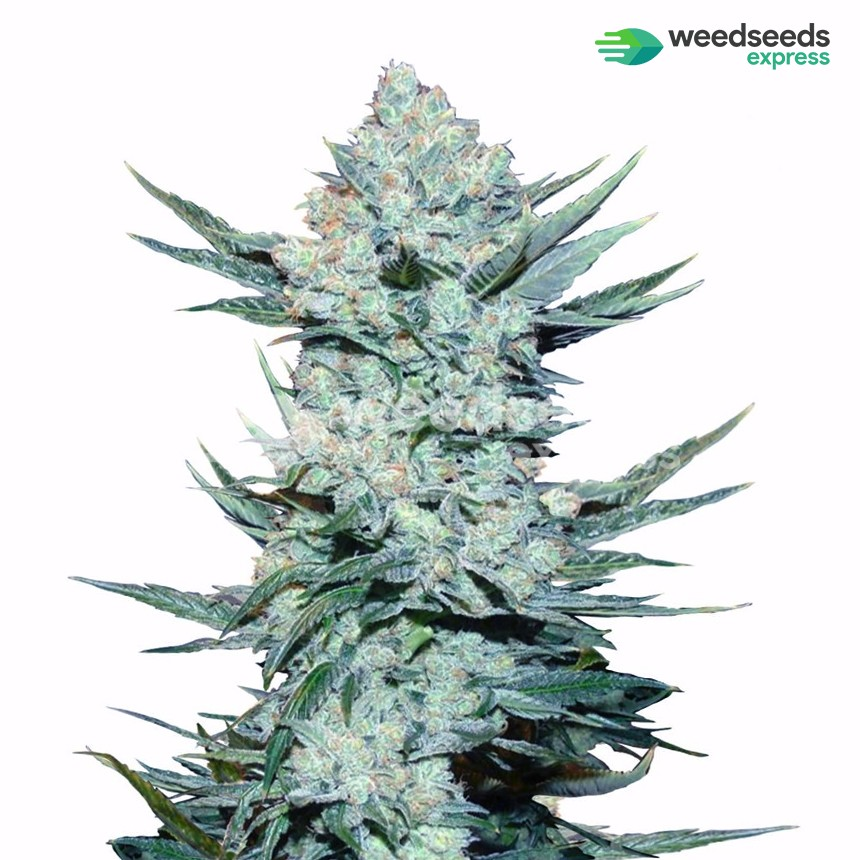 Girl Scout Cookies feminized seeds plant