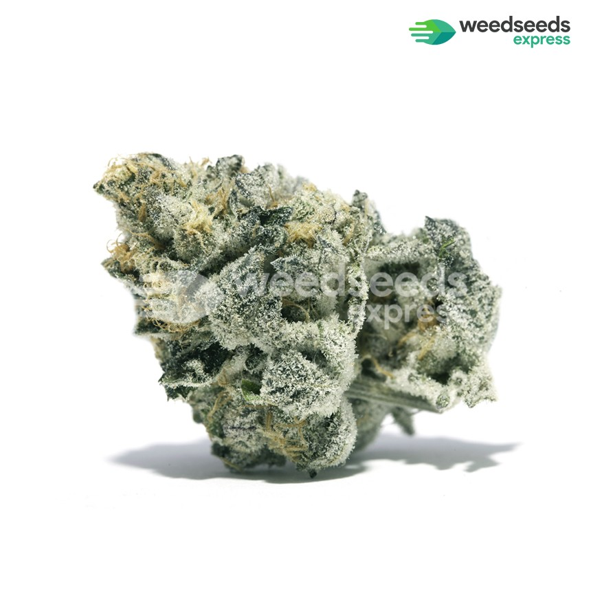 Girl Scout Cookies feminized seeds bud