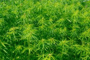Agricultural field with adult industrial hemp plants